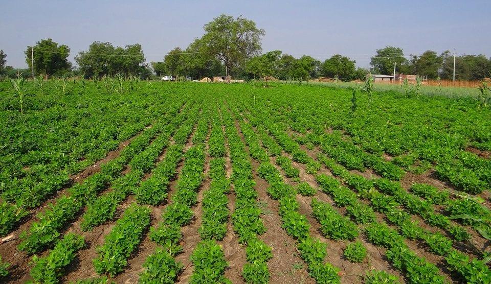 groundnut field peanut crop agriculture oilseeds