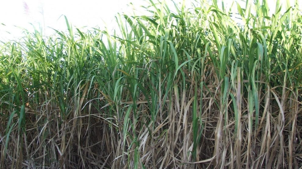 accessibility-in-sugarcane-price/
