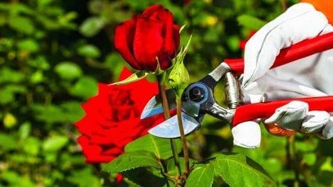 Rose planting method