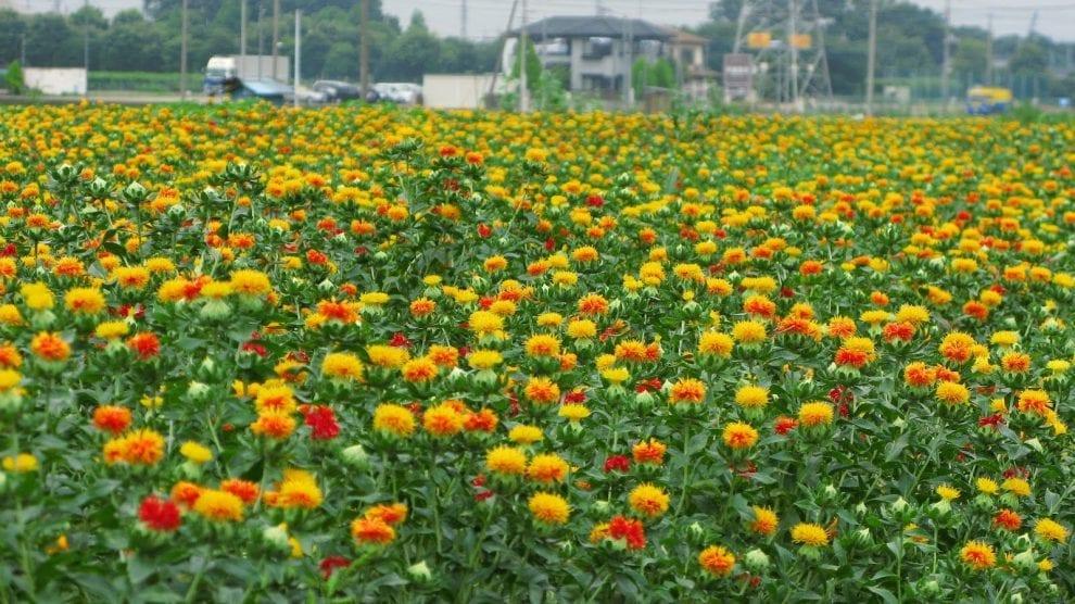 Safflower_flower