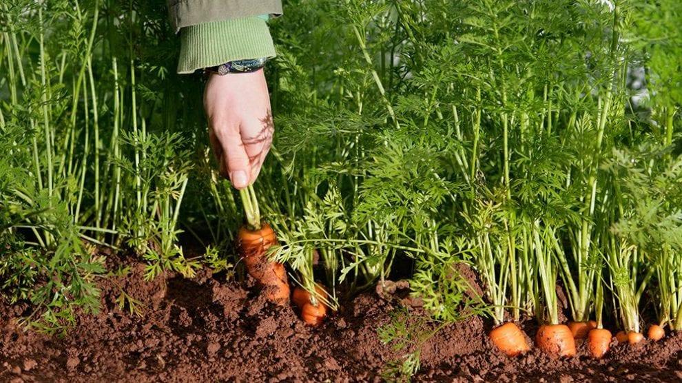 carrot plantation