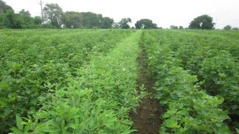 Toor Dal Farming