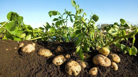 बटाटा लागवड