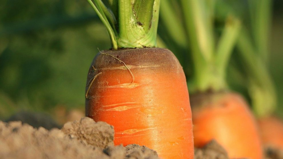 गाजर लागवड