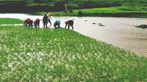 भात लागवड