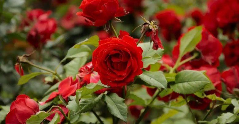 गुलाब लागवड